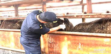 8009头澳大利亚种牛自黄骅港口岸进境
