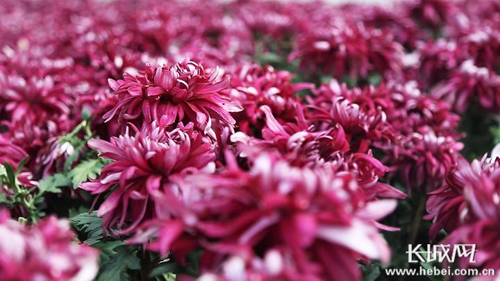 【视频】迎国庆!石家庄百万盆花卉扮靓城市