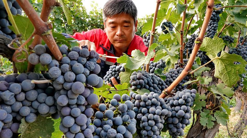 河北昌黎:收获酿酒葡萄