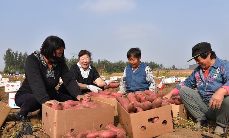唐山:无公害红薯大丰收