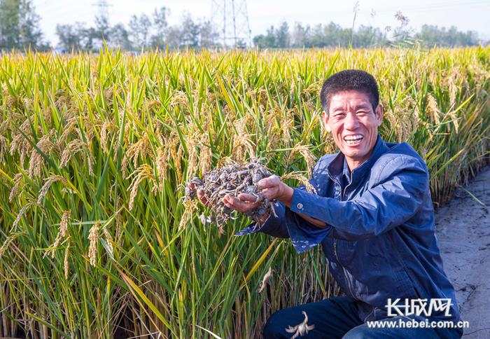 芦台:蟹稻共生双丰收 一地双产促增收