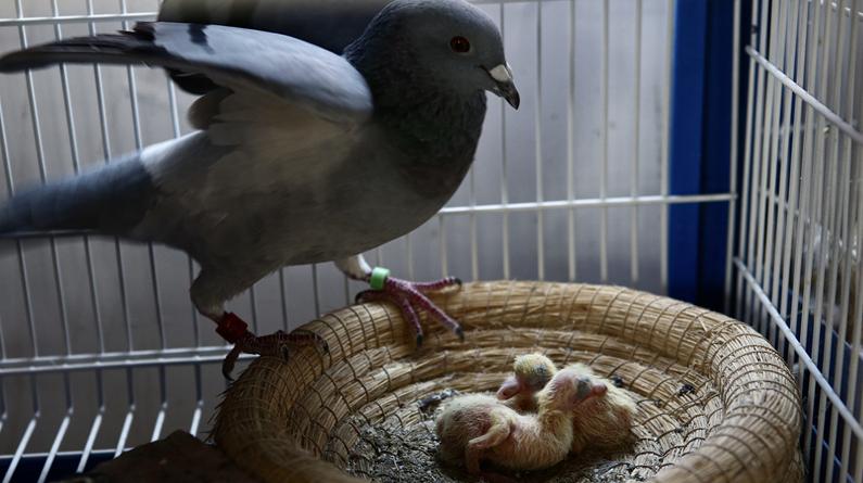 北京:国庆鸽子练成记 实拍信鸽日常生活和训练