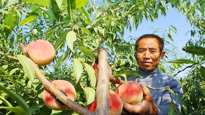 河北平鄉:秋桃熟了!