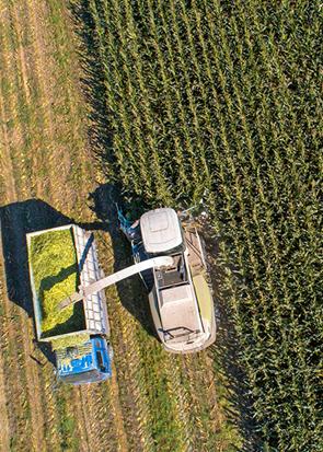 河北滦南:玉米青储收获忙