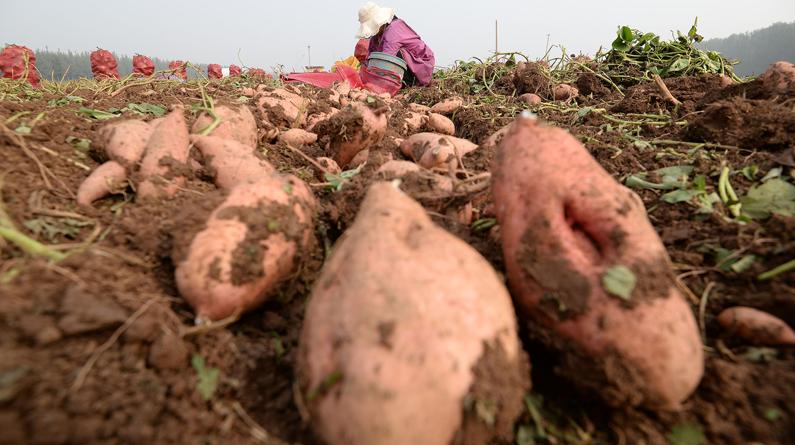 河北邯郸:农民收获脱毒红薯