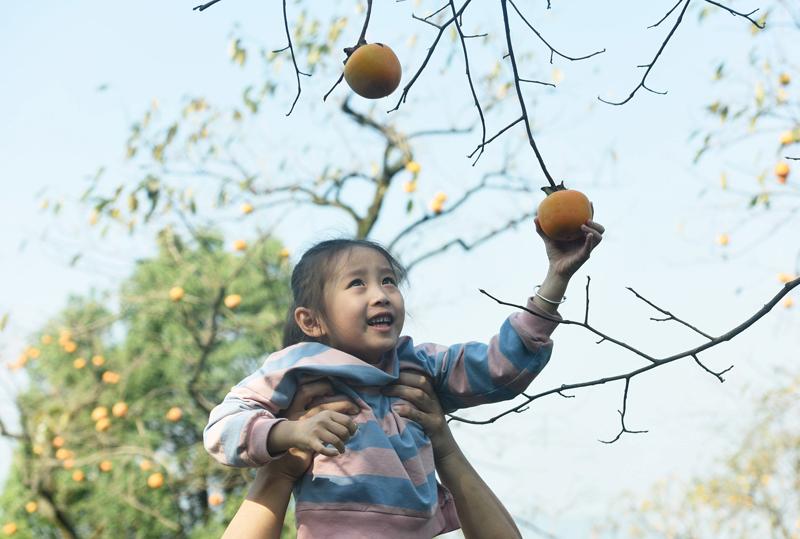 """杭州:游客采摘方柿 万""""柿""""如意引客来"""