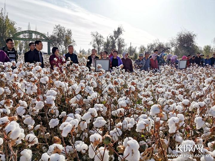冀棉新品种在新疆精彩亮相