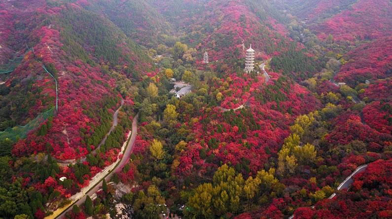 济南:高山红叶进入观赏季节 如火焰点亮山头