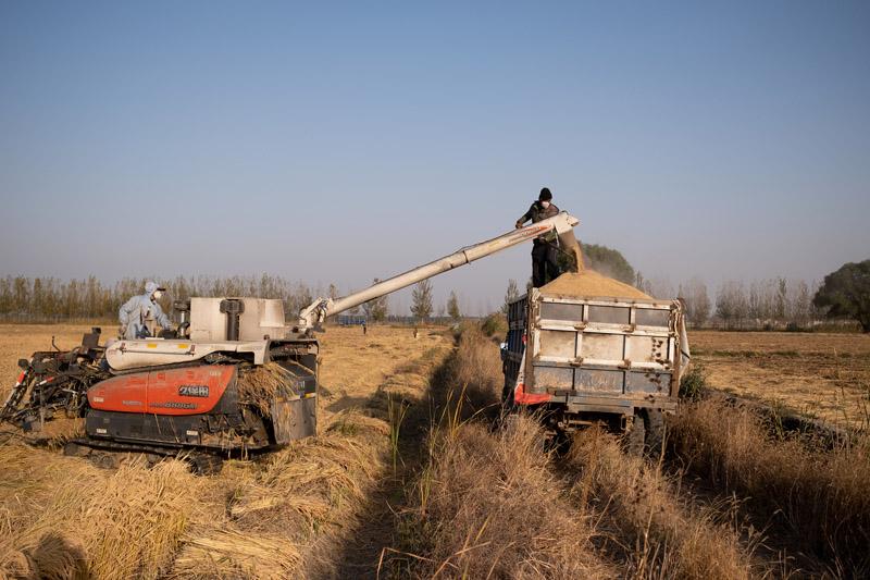白洋淀水稻成熟 进入收割期
