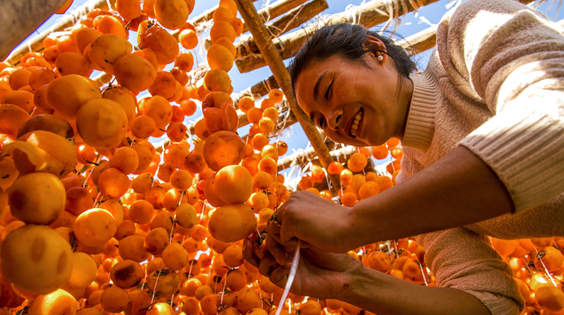 河北邯鄲:太行山群眾深秋時節曬柿子