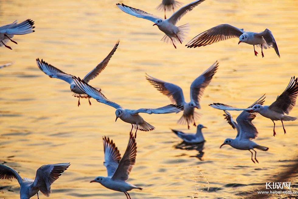 滄州渤海新區:環境生態美 港城海鷗飛
