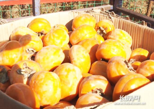 淶水:京保協作結碩果 小柿子做成大產業
