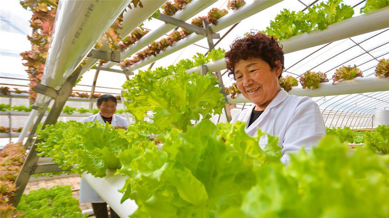 河北成安:科技种植助民增收