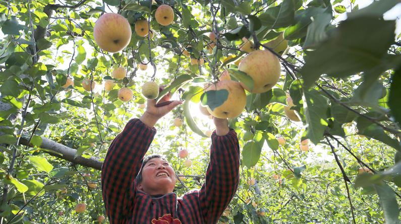 河北邢台:苹果飘香 果农采摘忙