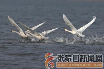 成群候鸟翔集张家口沽源湿地