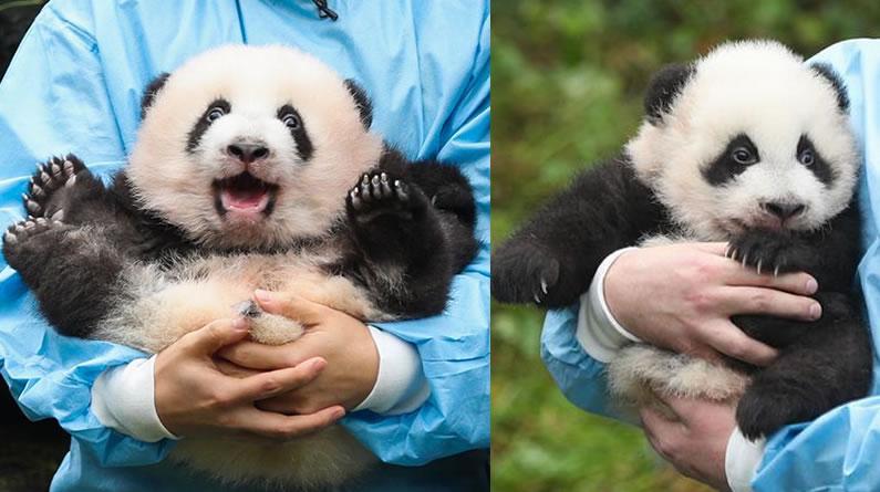 """比利时出生的大熊猫双胞胎取名""""宝弟""""""""宝妹"""""""