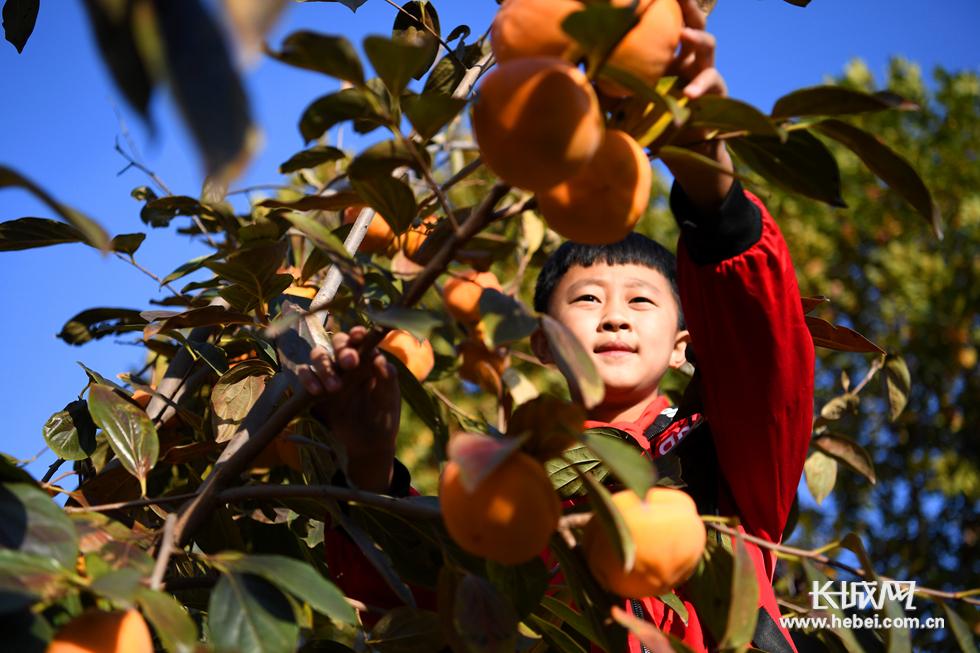 乐亭:劳动最快乐 校园柿柿红