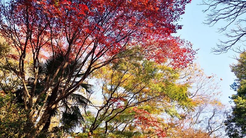 """南京:中山植物园五彩缤纷""""枫景""""独好"""