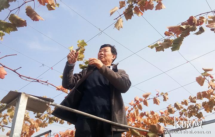 葡萄专家刘俊:8天跑6省,36载守护葡萄架