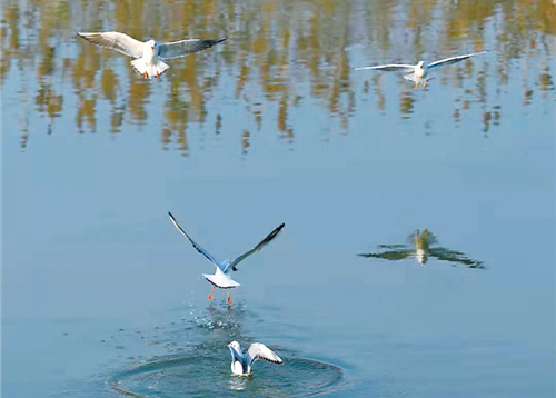 衡水湖畔 候鳥翔集