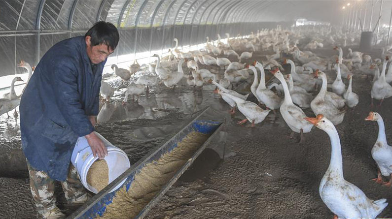 河北永清:养鹅产业助脱贫