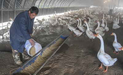 河北永清:養鵝產業助脫貧