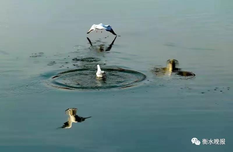冬季 欢迎你来衡水湖看鸟儿