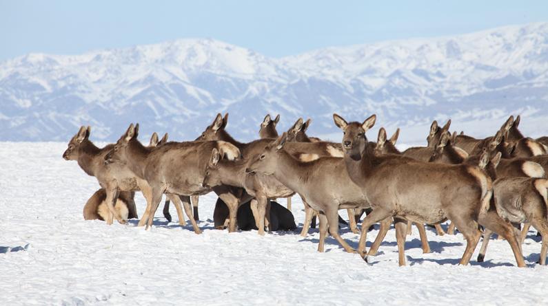 新疆哈密:实拍天山马鹿结群觅食 成雪域草原靓丽风景