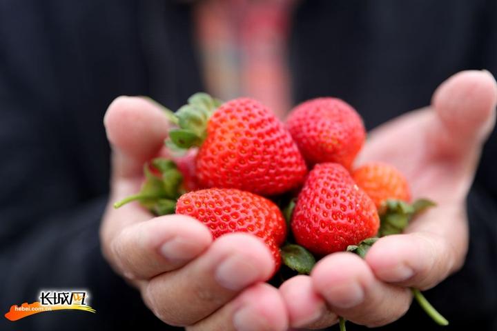 大雪刚过,尚义的草莓熟了!