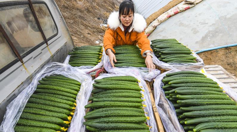河北永清:暖棚订单黄瓜助农增收