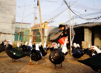 快三直播APP—主页-北新快三直播APP—主页-:非洲雁落户贫困村