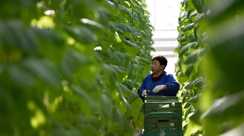 河北南和:高效现代农业助推乡村振兴