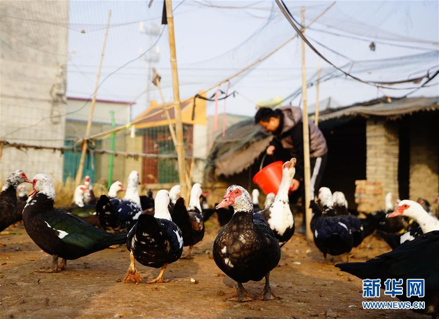 河北新河:非洲雁落户贫困村