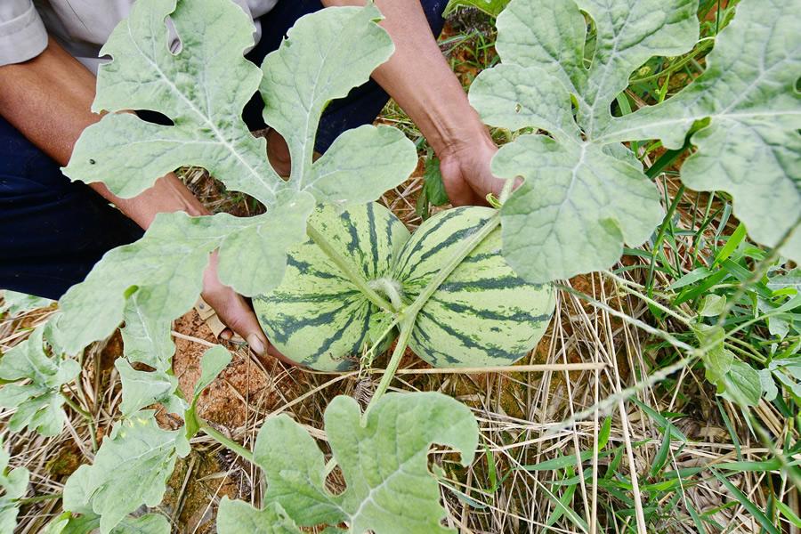 省第二批特色农产品优势区公布 石家庄两地入选