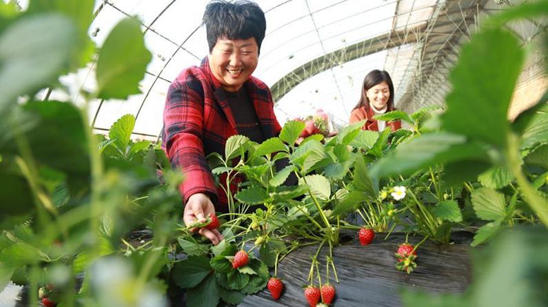 """河北南和:设施农业让""""冬闲""""变""""冬忙"""""""