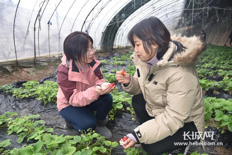 栾城:推进农业产业化经营 草莓提前上市助农增收