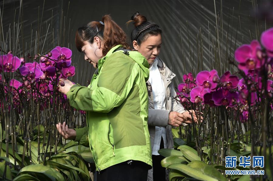 固安县:花香迎佳节
