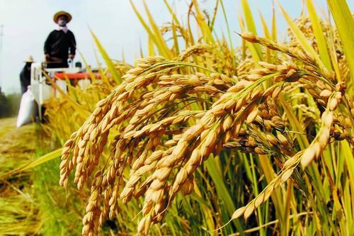 粮食最低收购价带动农民增收百亿元