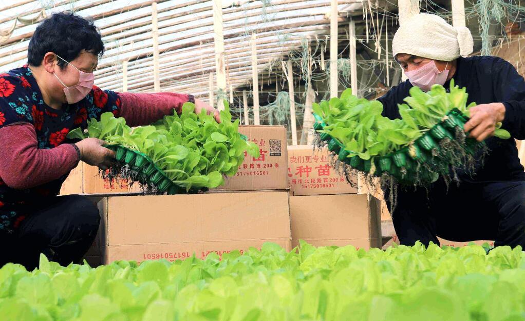 【夺取疫情防控和经济社会发展双胜利——记者走基层】临西县:农民大棚种菜忙