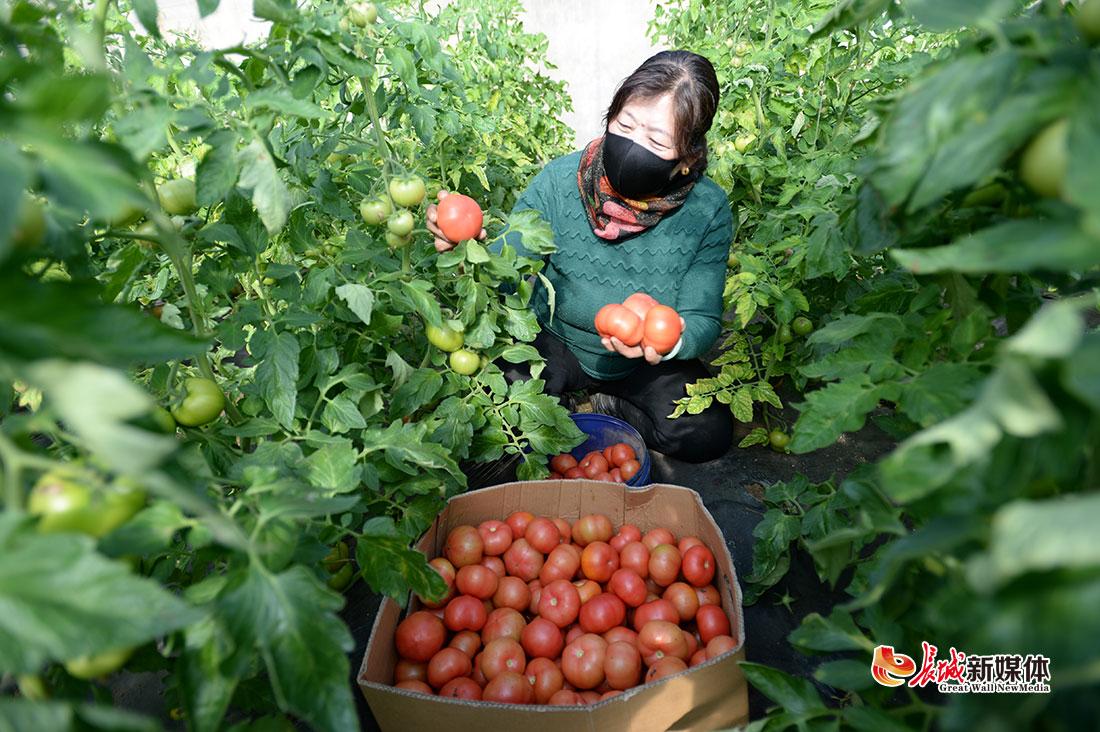 """【记者走基层】河北迁安:加强蔬菜管护 保障""""菜篮子""""供应"""
