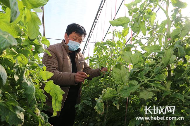 【记者走基层】保定谢庄村:网络平台显神通_200个大棚保供应