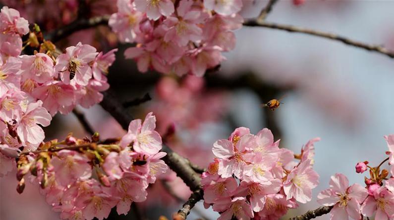 上海:樱花绽放春意浓