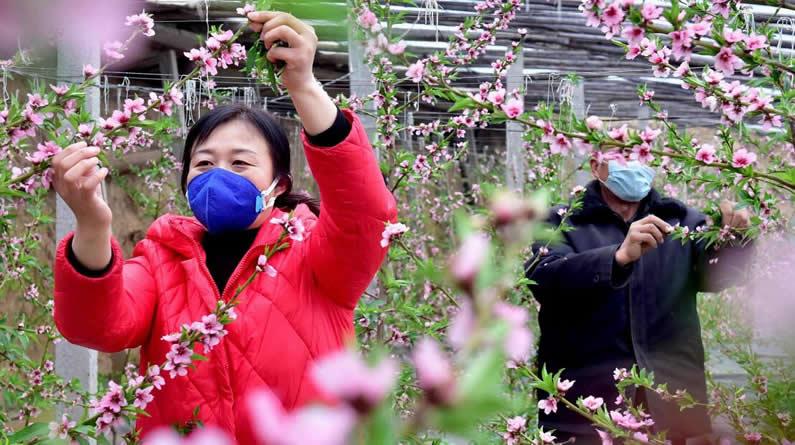 【夺取疫情防控和经济社会发展双胜利·记者走基层】河北新乐:桃花枝头绽放 管护不误农时
