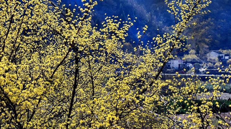 秦岭深处十万亩山茱萸盛开