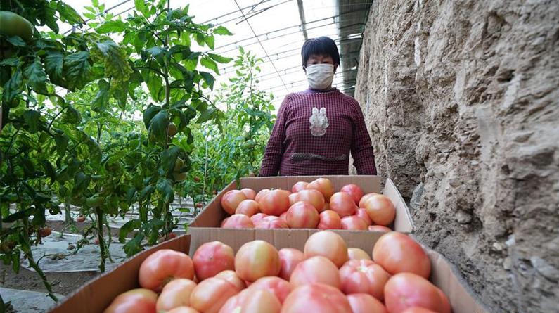 河北臨城:特色種植生産忙