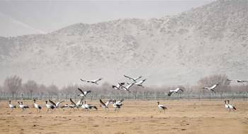 西藏:雅江北岸 鶴舞翩翩