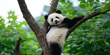 我国大熊猫等濒危野生动物扭转持续下降态势
