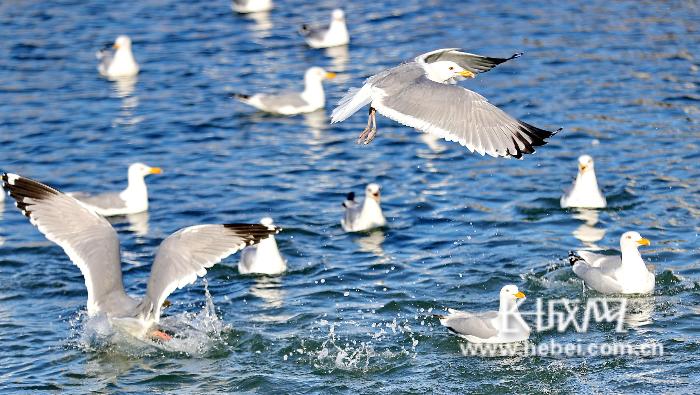 秦皇岛:海鸥觅食戏水乐