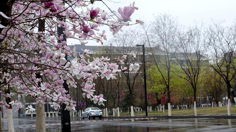 高清组图|雨中春花别样美