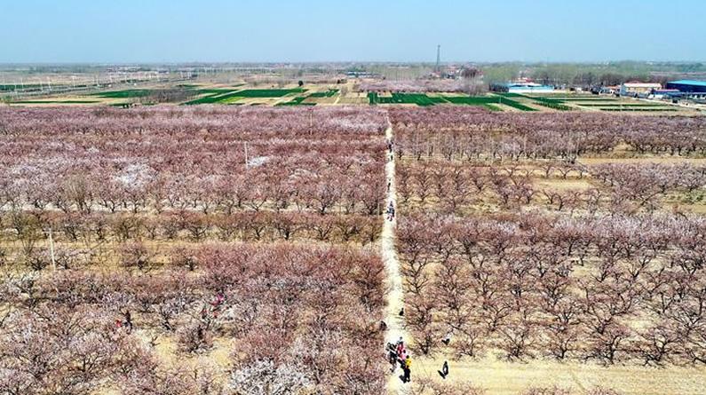 河北巨鹿:杏花开 享春光